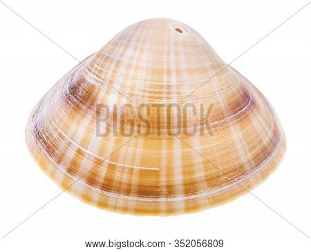 Striped Brown Shell Of Clam Perforated For Making Beads Isolated On White Background