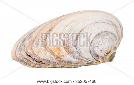 Old Shabby Seashell Of Clam Isolated On White Background
