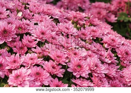 Chrysanthemum Flower In Garden.chrysanthemum Pattern In Flowers Park. Cluster Of Pink Purple Chrysan