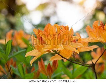 Orange Flowers Of Rhododendron Bush - Azalea,  Blooming In Spring Garden