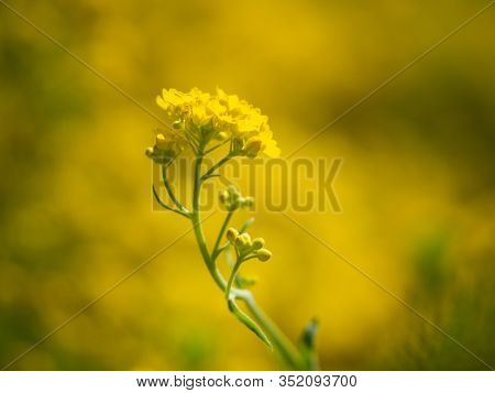 Yellow Blossom Of Aurinia Saxatilis Flower, Blooming In Spring