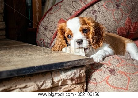 A Small Puppy, Of The Cavalier King Charles Spaniel Breed, With Blenheim Coloring, Lies In A Dog Bed