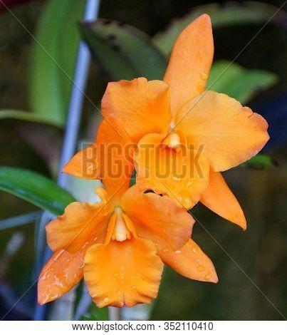 Orange Color Of Brassolaelio Cattleya 'fuchs Orange Nugget Lea' Orchids