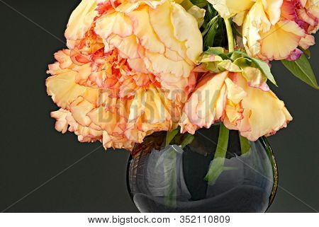 Wilted Pink-laced Yellow Peonies in Vase