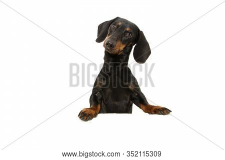 Dachshund Dog  With Paws Over Black Edge. Tilting Head Side. Isolated On White Background.