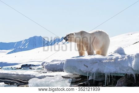 Adult male polar bear stands at the edge of the ice in Svalbard, a Norwegian archipelago between mainland Norway and the North Pole. Side view with snow and blue sky background.