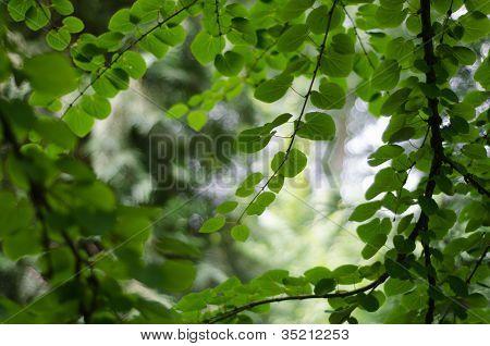 Katsura Leaf Cluster