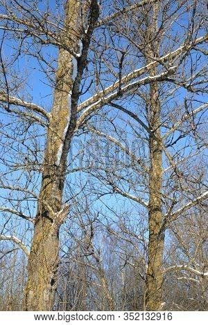 Poplar Tree In Winter At Sunny Winter Day.