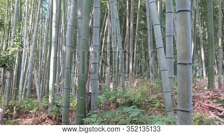 The Bamboo Forest, Or Arashiyama Bamboo Grove Or Sagano Bamboo Forest, Is A Natural Forest Of Bamboo