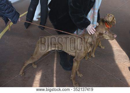 Hungarian Vizsla, Magyar Vizsla On A Leash At A Dog Show, In Training Classes. Dog Indoors, Owner St