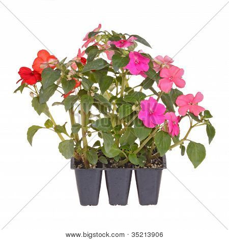 Pack Of Three Impatiens Seedlings Ready For Transplanting