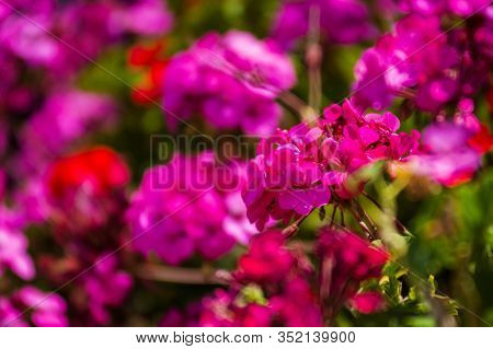 Closeup Of Large Red And Violet Flowers  Of Fee Cerise Polina At The Green Bush. Postcard. Article I