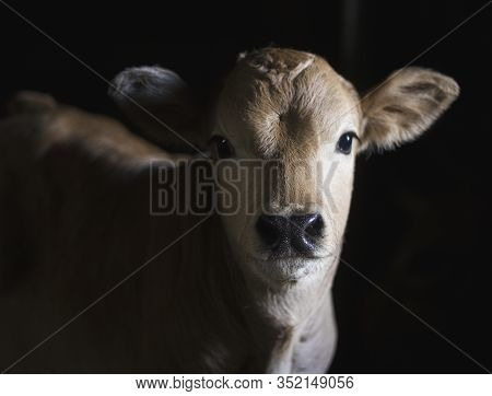 A Chestnut Calf In A Stable Looking Quietly Into The Chamber. Bos Taurus