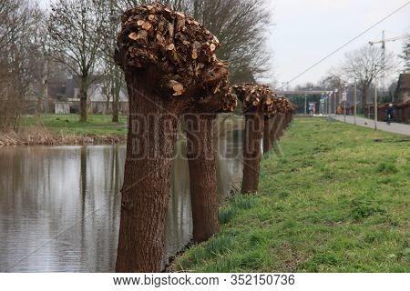 Short-lived Pollard Willows Along The Road In Nieuwerkerk Aan Den Ijssel During The Winter