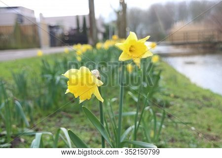 First Daffodils In The Park During The End Of The Winter In Nieuwerkerk Aan Den Ijssel In The Nether