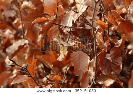 Brown Leaves On Hedge Iluminated By Sunlight During Autumn