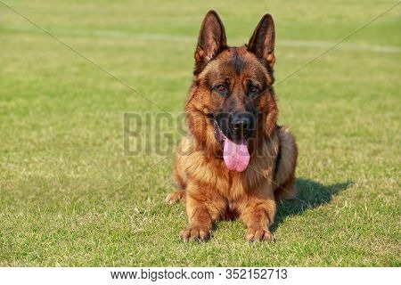 Dog Breed German Shepherd Resting In The Park
