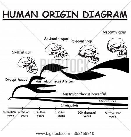 Evolution Of The Skull. Human Origin Diagram. Neoanthropus. Poleoanthrop. Orangutan. African Apes Au