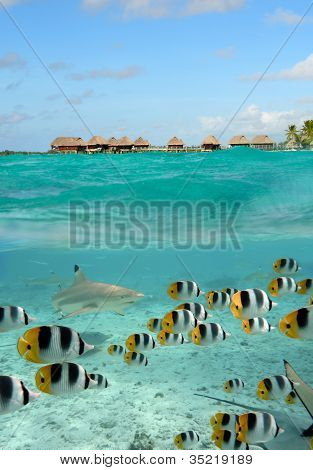 Shark And Butterfly Fish At Bora Bora