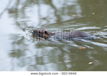 Coypu Swimming In The Pond - Wildlife Of France