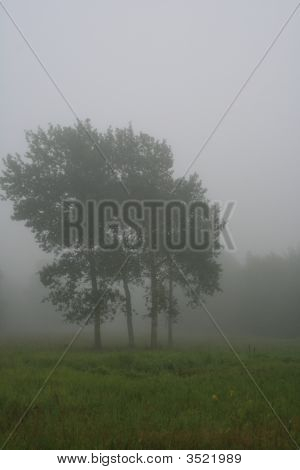 Stand Of Trees, Foggy Morning