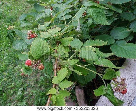 Red Raspberry (rubus Idaeus) Fruit Vegetarian Food