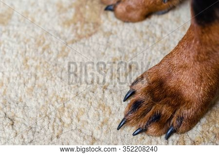 Dog Paw On The Carpet. Paw Of A Domestic Dog Stands On A Light Carpet. The Carpet Is Covered With Do