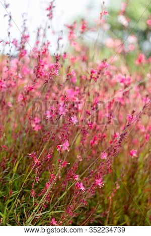 Pink Flower Of Gaura Lindheimeri Or Australian Butterfly Bush On A Bright Looks Like A Watercolor Ba