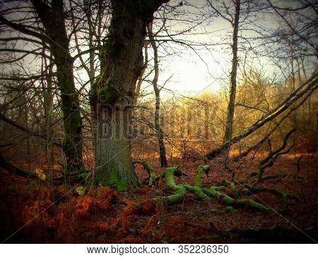 A Large Oak Tree And Its Large, Dead Branches In The Sababurg Primeval Forest, Lomography