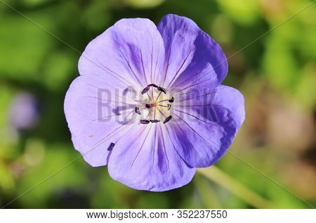 The Meadow Crane's-bill Or Meadow Geranium (geranium Pratense) Is A Species Of Flowering Plant In Th
