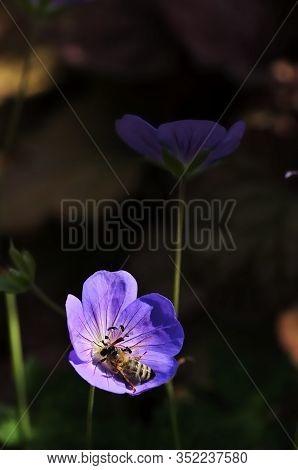 Bee On The Meadow Crane's-bill Or Meadow Geranium (geranium Pratense) Is A Species Of Flowering Plan
