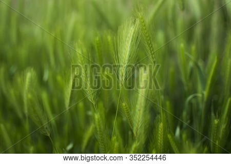 Green Field With Crops, Closeup View Spikelets Of Rye, Wheat, Barley. Cultivation Of Agricultural Pl