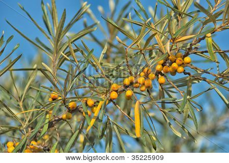 Branch Of Sea Buckthorn