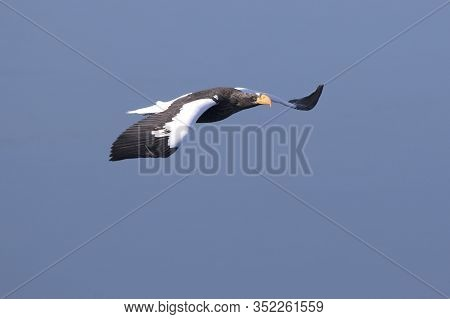 Adult Stellers Eagle Who Flies Over The Ocean On A Winter Day