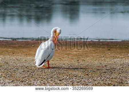 American White Pelican (pelecanus Erythrorhynchos) Standing On A Lake Shore In J.n. Ding Darling Nwr