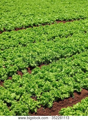 Market Farm In Vietnam With A Crop Of Green Lettuce. Dalat Is A Productive Agricultural Area In The