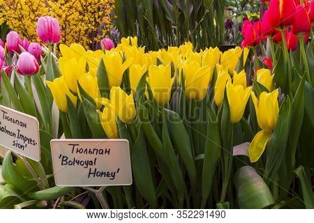 Tulipa Of The Bolroyal Honey  Species In A Greenhouse. Translation Of The Word On Nameplate: