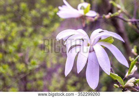 White Magnolia On A Blurred Background. Spring Photo.