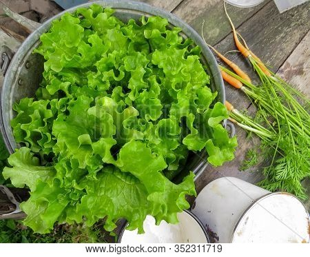 Bunch Of Fresh, Green Lettuce In A Bucket, Wooden Table And Fresh Young Carrots Background. Crinkled