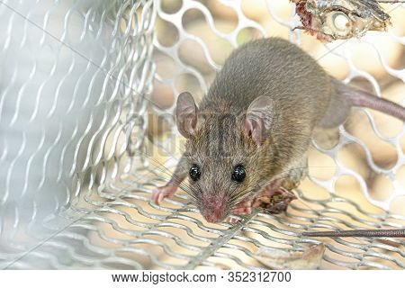 Rat In Cage Mousetrap Catch At Home.