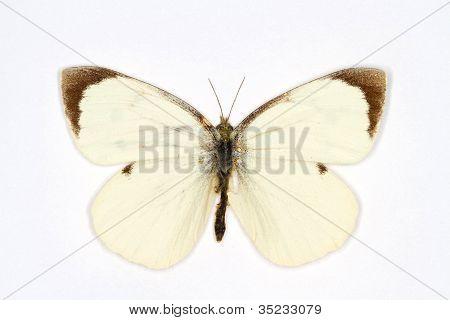 Large White latin name Pieris brassicae isolated on white poster
