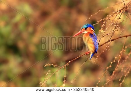 Malachite Kingfisher (corythornis Cristatus) Sitting On A Branch With Color Background By The River.