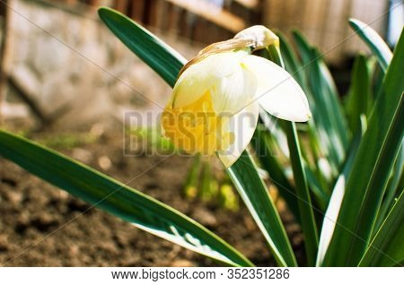 Macro Photo Of A Daffodil In The Sun. Flower Daffodil With Fluffy Yellow Petals. A Bouquet Of Daffod