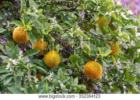 Ingredient For Tea And Aroma Oils, Ripe Citrus Fruit Bergamot Hanging On Evergreen Tree