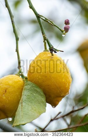 Ripe Yellow Lemons Citrus Fruits Growing On Thee In Greece