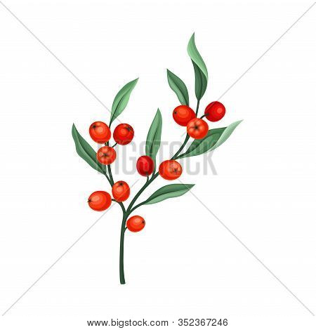 Rowanberry Twig With Green Leaves Isolated On White Background Vector Illustration