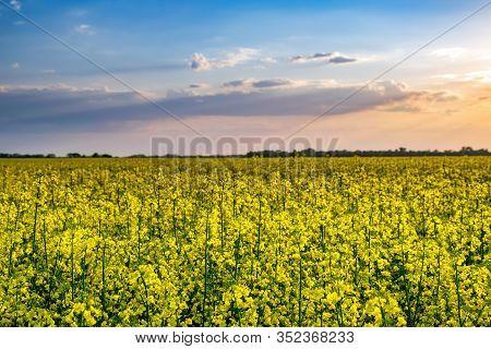 Picturesque View Of Blooming Canola Field At Sunset