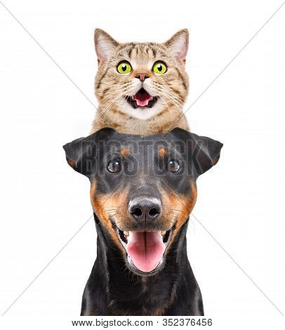 Portrait Of Funny Cat Scottish Straight On The Head Dog Breed Jagdterrier Isolated On White Backgrou