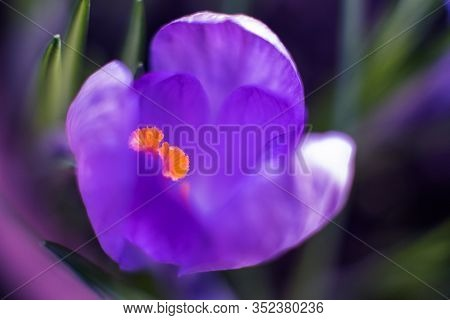 Purple Spring Crocus Flower Macro Closeup With Selective Focus. Spring Background With Flowering Vio