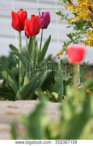 A red tulip in a garden of green grass